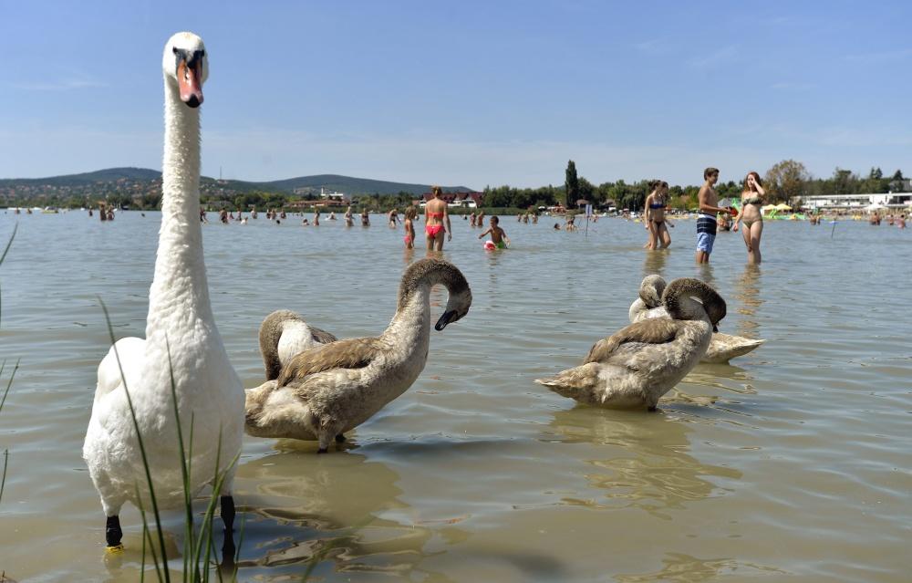 Hattyúk és fürdőzők a Velencei-tóban a Velence Korzó szabadstrandon MTI Fotó: Máthé Zoltán