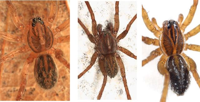 Európai álkalózpók - Trebacosa europaea - Fotó: apropok.blogspot.hu